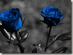 blue-roses-roses-rose-flower-1024x768